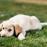大型犬の人気と飼いやすさを独自のランキングTOP5でご紹介!