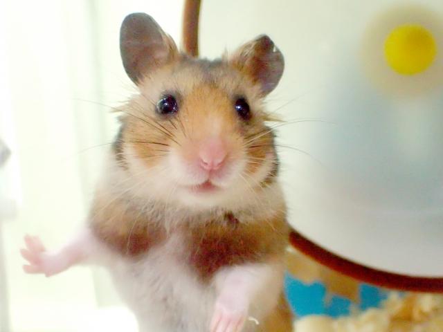 ハムスターの寿命を伸ばすか縮めるかは飼い方で決まる!最高年齢は?